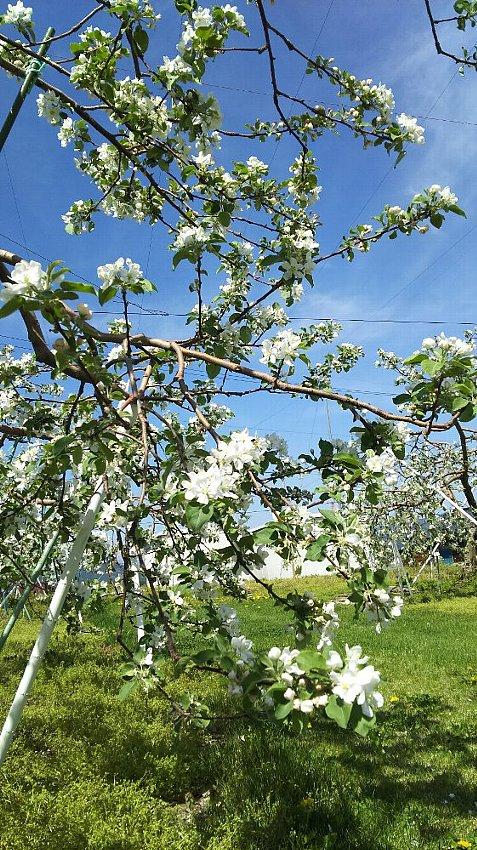 青空のリンゴ園