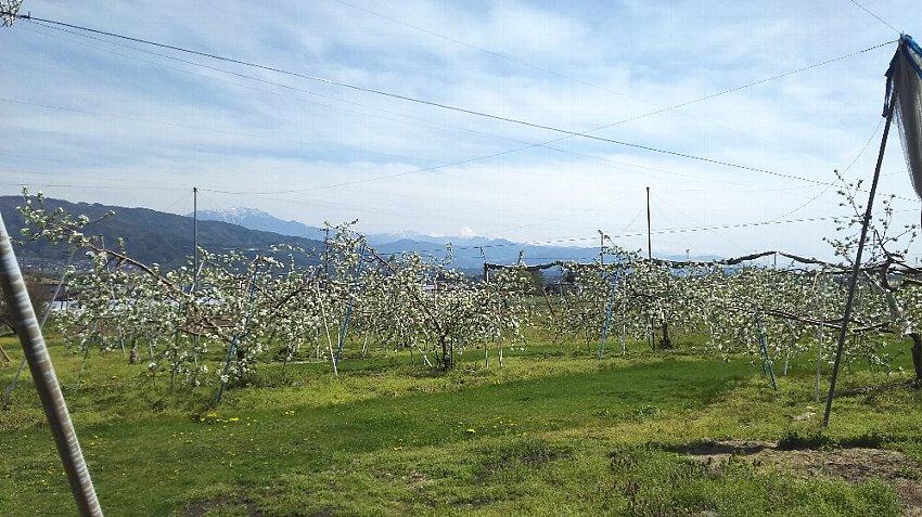 リンゴ園越しの八ヶ岳