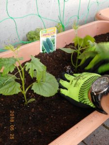 ゴーヤの苗を植えている