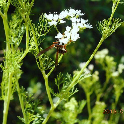 パクチーの花の蜜を集めるハチ