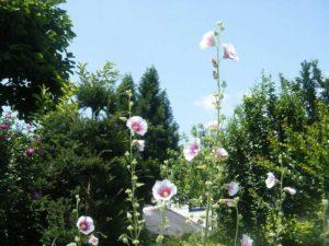 野に咲くタチアオイ