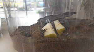 梨を食べる鈴虫