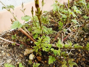 ホップの芽