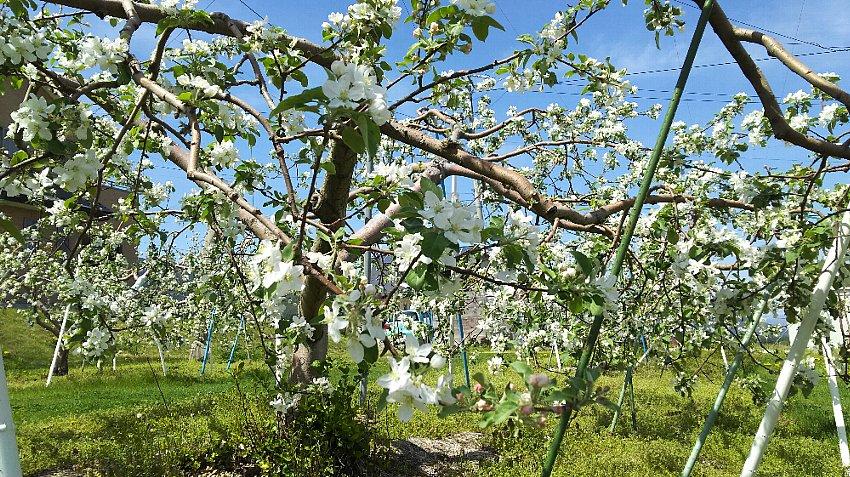 開花中のリンゴの木