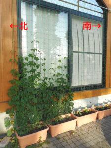 緑のカーテン、ホップとゴーヤ