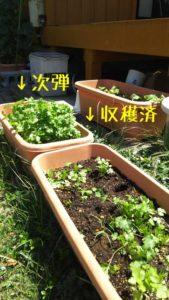 収穫した自社製パクチー(香菜)
