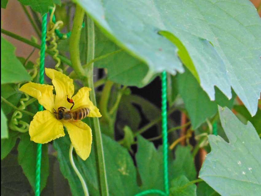 ゴーヤの花に止まるハチ