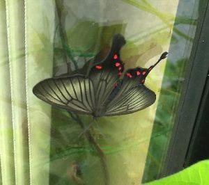 黒いアゲハチョウ