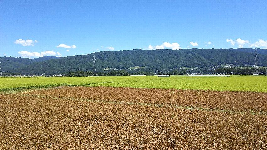 稲田と麦畑の広がる景色