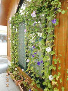 花がまばらな緑のカーテン