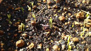 パクチー(コリアンダー)の芽