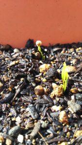 種の殻をかぶったコリアンダーの芽
