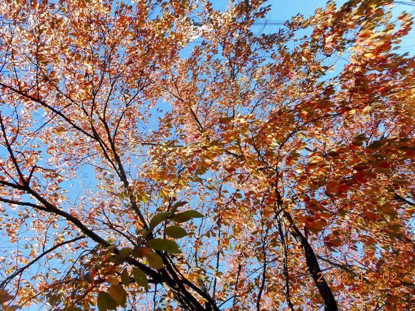 紅葉した桜の木を見上た