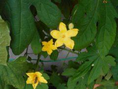 ゴーヤの花とミツバチ